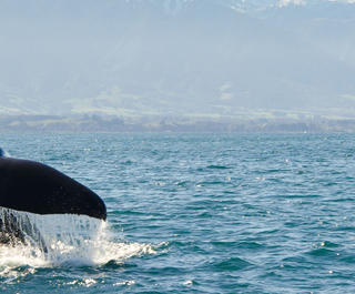 sperm whales are a highlight of visiting kaikoura on nz south island