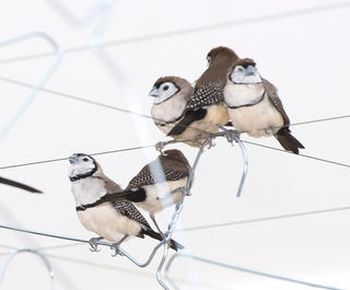 A close-up of finches on coathangers from Celeste Bourgier-Mougenot's artwork, From here to ear (v.13).