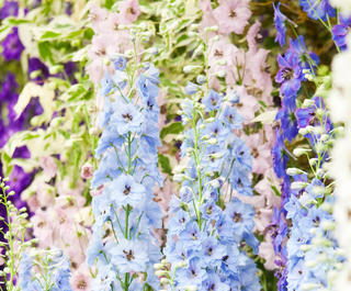 Delphiniums at London's RHS Chelsea Flower Show.