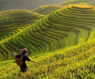 rice fields in vietnam with woman walking
