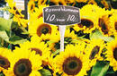 Sunflowers For Sale, Albert Cuypmarkt | by Flight Centre's Tiffany Apatu