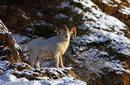 A Dall sheep