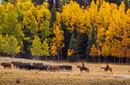 A cattle drive