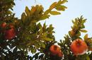Pomegranates | by Flight Centre's Katrina Imbruglia