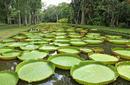 Astonishing Giant Water Lilies