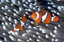 Clown Fish, Great Barrier Reef