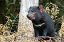 A Tasmanian Devil