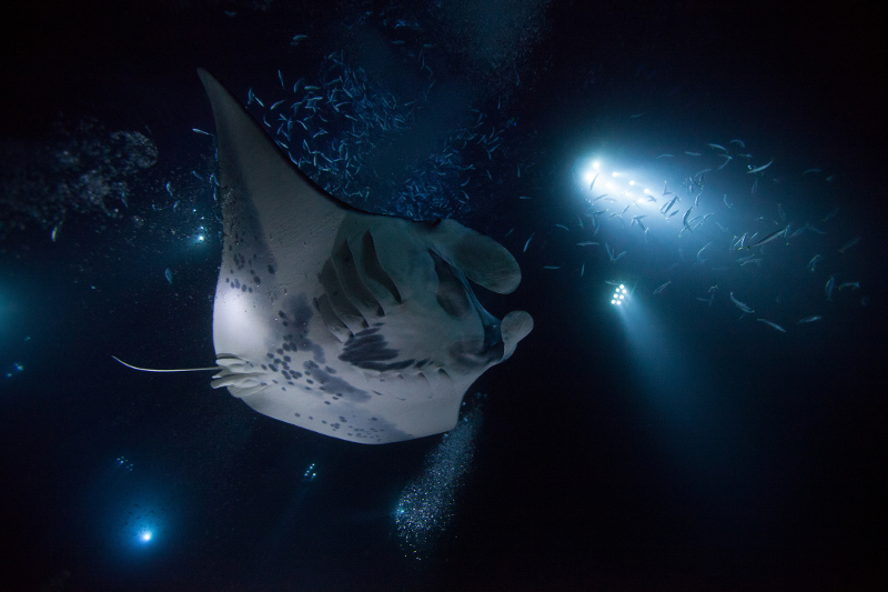 A manta ray shines in the light during a night dive off Kona, Hawaii.