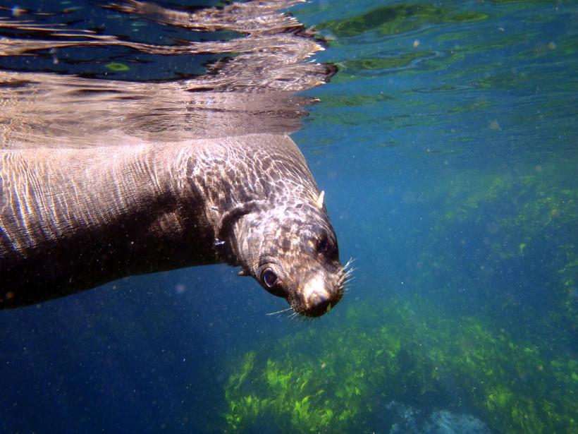 seal pup underwater