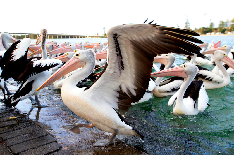 A flock of pelicans swim up to the jetty for their daily feed at The Entrance in New South Wales.