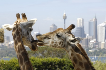 Giraffes at Taronga Zoo Sydney