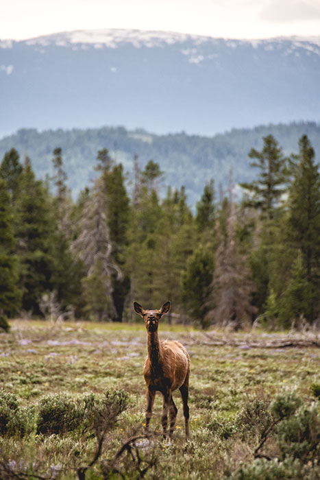 A mule deer in Grand Teton National Park USA