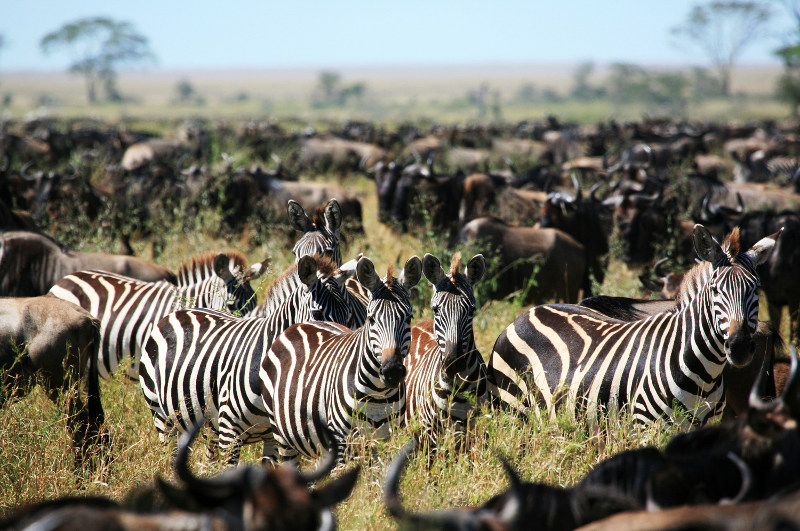 A herd of zebra during the Great Migration