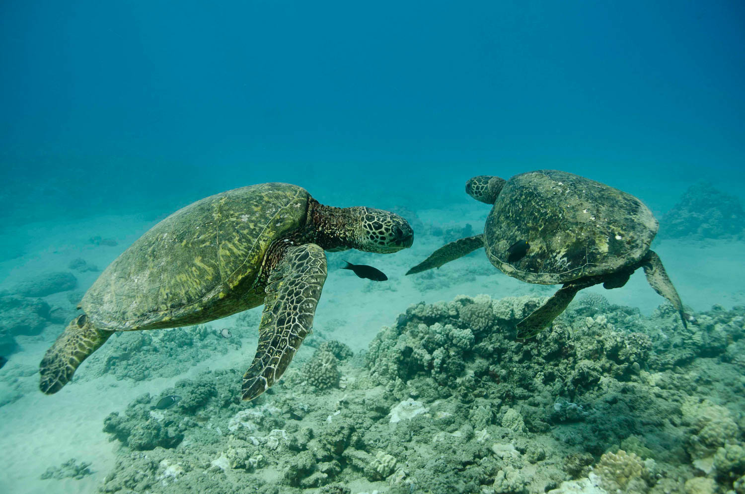 Green Turtles spotted off the west coast of Oahu