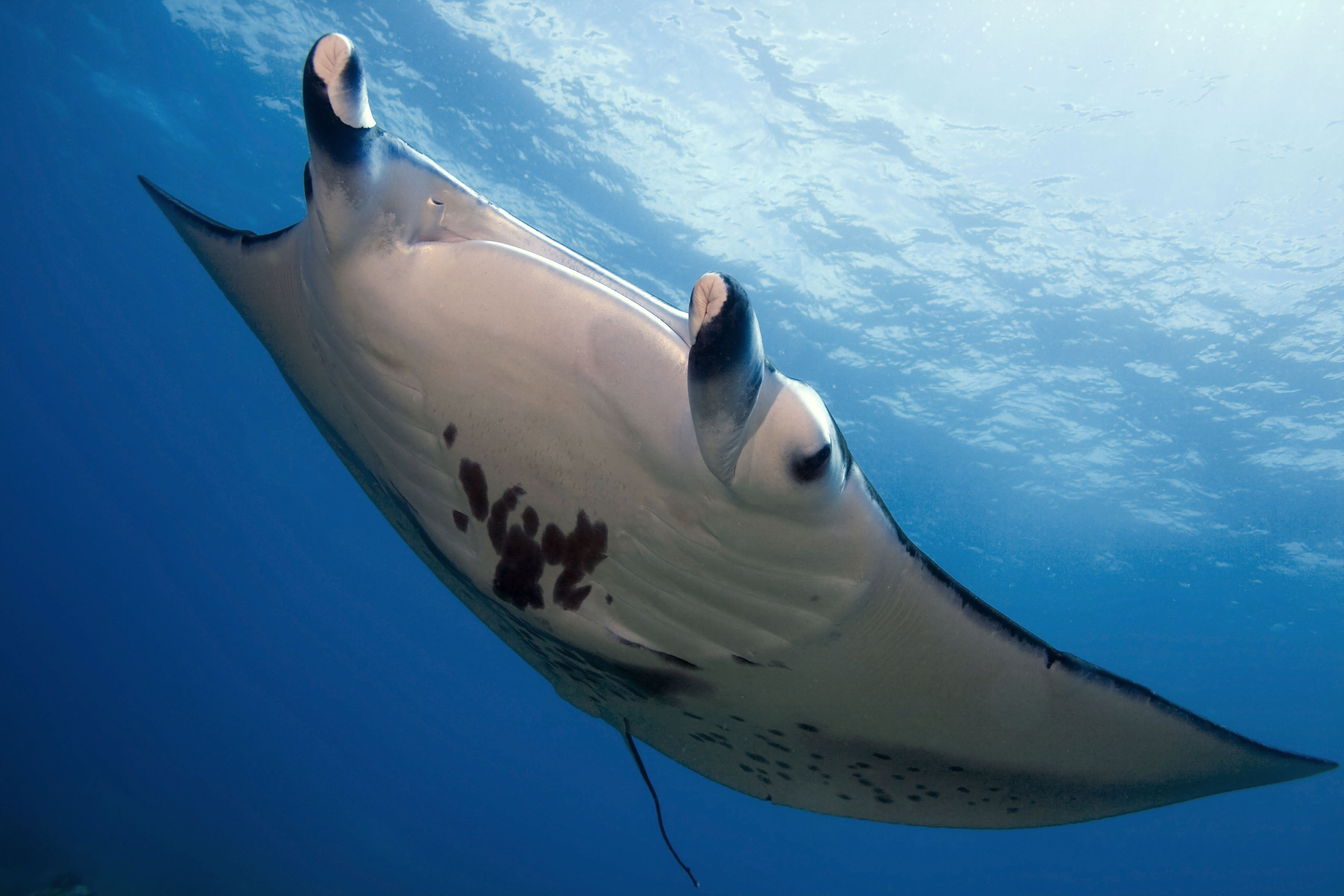 Manta rays at Keauhou Bay on the Big Island (photo provided by Second Wave Ocean Images for Sheraton Kona)