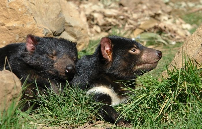 Tasmanian Devils cuddling each other