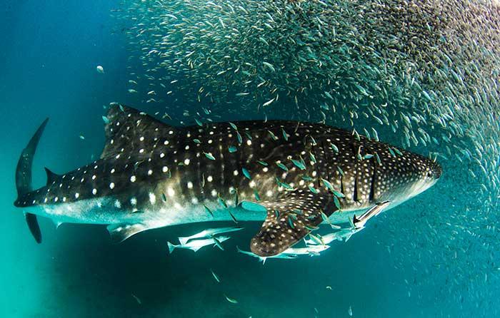 Whale Sharks, Coral Coast Road Trip, WA
