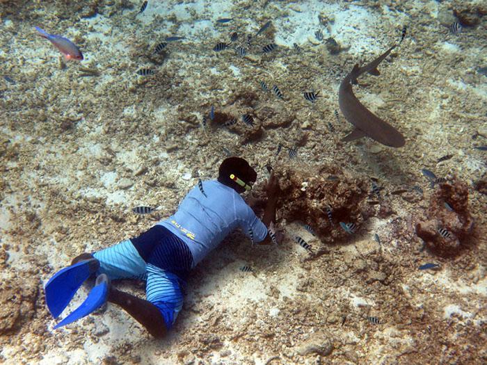white tipped reef shark fiji