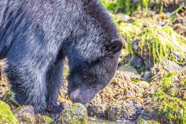 A black bear sniffs out food in British Columbia, Canada.