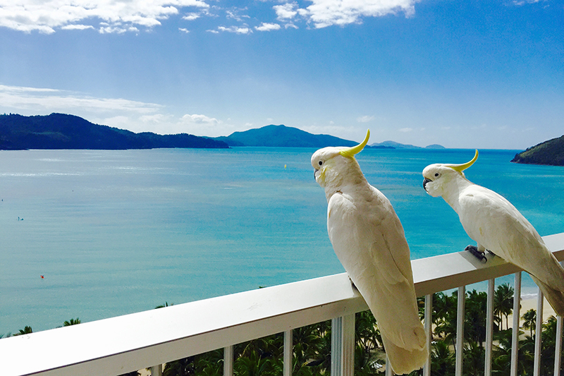 Cockatoos on a balcony in Hamilton Island, Queensland.