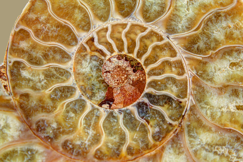 A close-up view of an ammonite fossil.