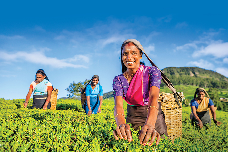 Four women pick tea leaves on a plantation in Sri Lanka.