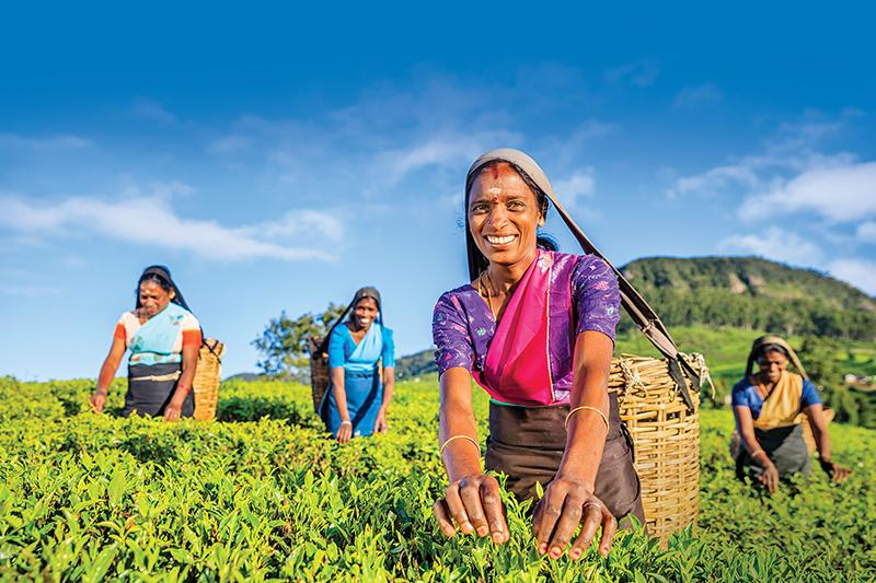 Four women pick tea leaves on a plantation in Sri Lanka.