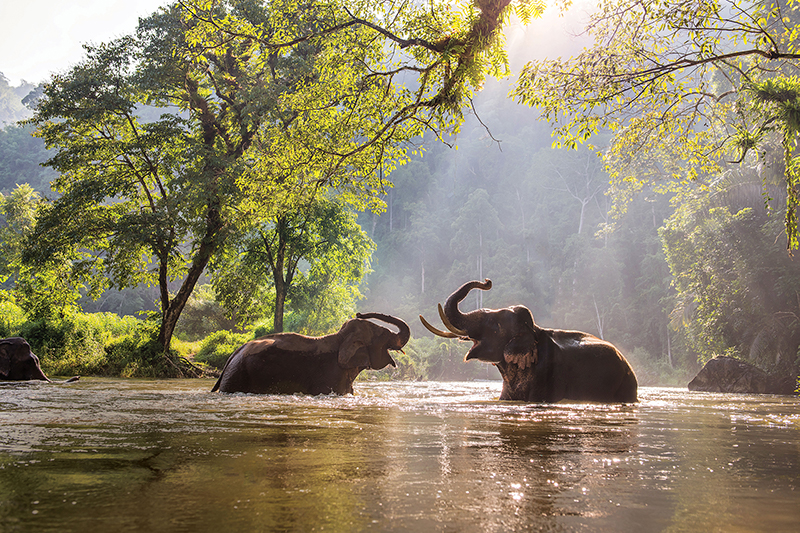 Asian elephants in a river in Thailand.