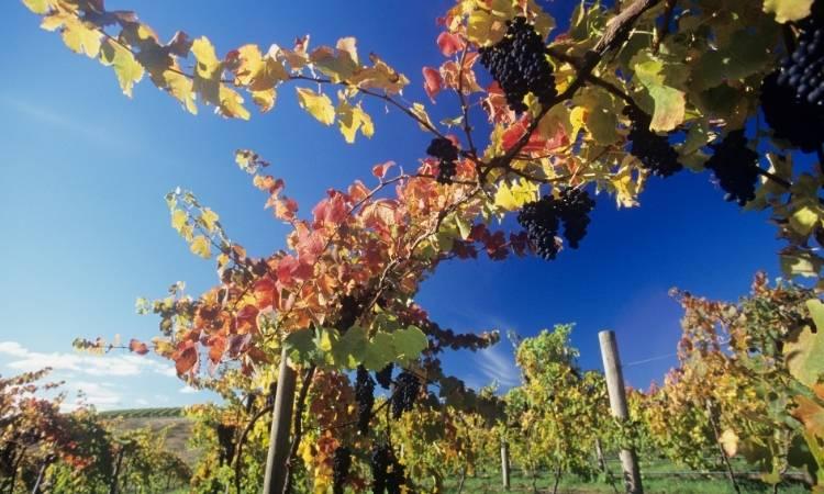 Grape vines bearing fruit