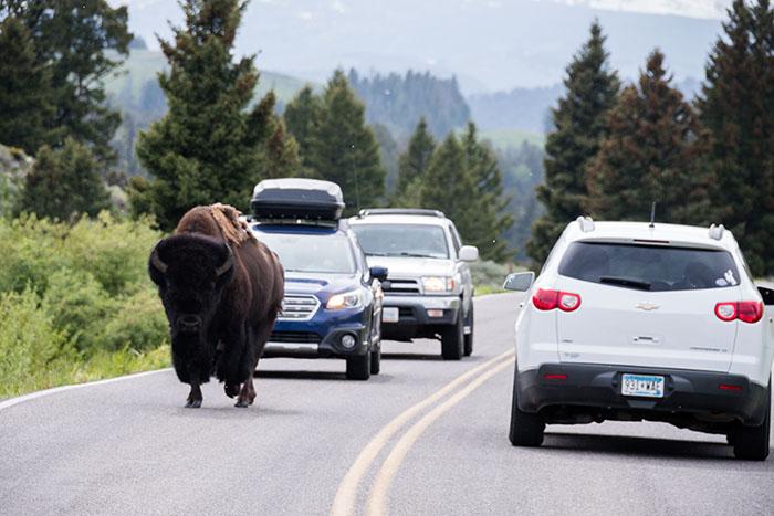 yellowstone traffic jam where bison cross the road